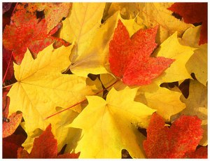 Fall_leaves-13957